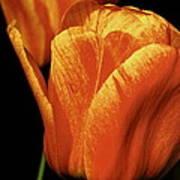 Yellow Orange Tulip Poster