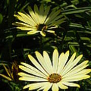 Yellow Osteospermums Poster