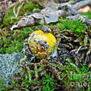 Yellow Patches Baby Mushroom - Amanita Muscaria Poster