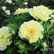 Yellow Peonies Poster