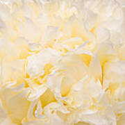 Yellow Peony Petals Poster