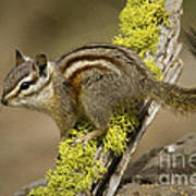 Yellow Pine Chipmunk Poster