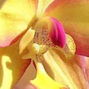 Yellow Pink Orchid Poster