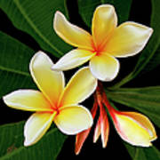 Yellow Plumeria Poster by Ben and Raisa Gertsberg