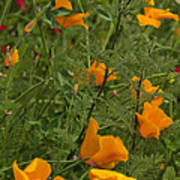 Yellow Poppies Dsc07460 Poster