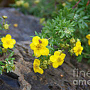 Yellow Potentilla Shrub Poster