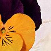 Yellow Purple Pansy Poster