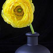 Yellow Ranunculus In Black Vase Poster