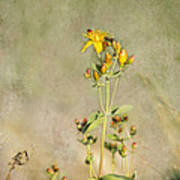 Yellow-red Wildflower With Texture Poster