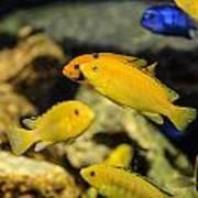 Yellow Reef Fish Poster