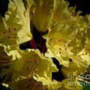 Yellow Rhododendron Poster