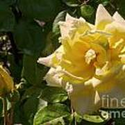 Yellow Rose And Bud Poster