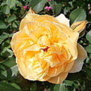 Yellow Rose And Two Rosebuds Poster
