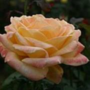 Yellow Rose Kissed By Pink Fairy Poster