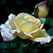 Yellow Rose Morning Dew Poster
