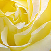 Yellow Rose Poster by Svetlana Sewell
