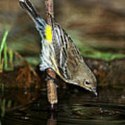 Yellow-rumped Warbler Drinking Poster