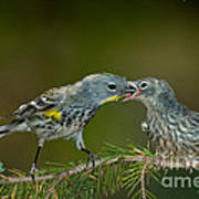 Yellow-rumped Warbler Feeding Young Poster