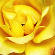 Yellow Sapphire Rose Palm Springs Poster