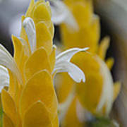 Yellow Shrimp Swirl Poster