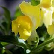 Yellow Snapdragons I Poster by Aya Murrells