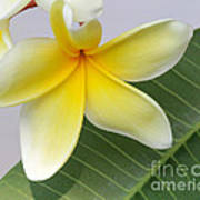 Yellow Star Plumeria Poster