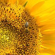 Yellow Sunflower - Detail Poster