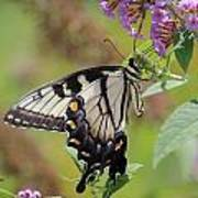 Yellow Swallowtail Butterfly Taking A Drink Poster
