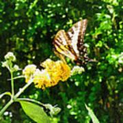 Yellow Swallowtail On Yellow Lantana Poster