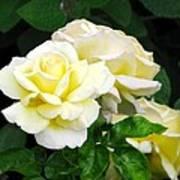 Yellow Tea Roses Poster