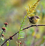 Yellow Throat In Late Summer Prairie Poster