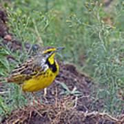Yellow-throated Longclaw Poster