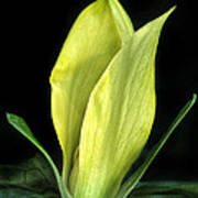 Yellow Trillium Poster
