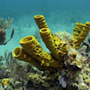 Yellow Tube Sponge (aplysina Fistularis Poster