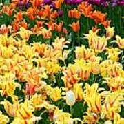Yellow Tulips In Bloom Poster