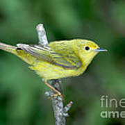 Yellow Warbler Dendroica Petechia Female Poster