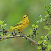 Yellow Warbler Male Perched On Elbow Poster