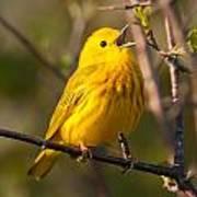 Yellow Warbler Singing Poster