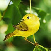 Yellow Warbler Poster