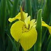Yellow Water Iris Poster