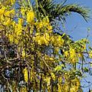 Yellow Wisteria Blooms Poster