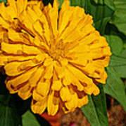 Yellow Zinnia Poster