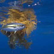 Yellowfin Tuna And Kelp Nine-mile Bank Poster