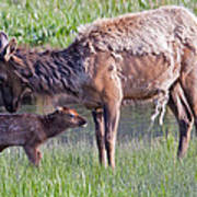 Yellowstone Elk Cow And Calf Poster