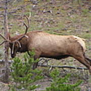Yellowstone Elk Poster