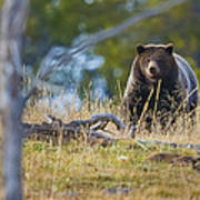 Yellowstone Grizzly Coming Over Hill Poster
