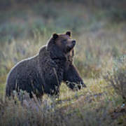 Yellowstone Grizzly On The Lookout Poster