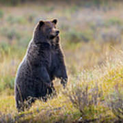 Yellowstone Grizzly Standing - 1 Poster