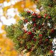 Taxus Baccata Or Yew Red Fruits On Twig  Poster