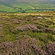 Yorkshire Moors Heather Poster